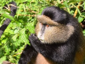 Golden Monkey Trekking Rwanda – Volcanoes National Park