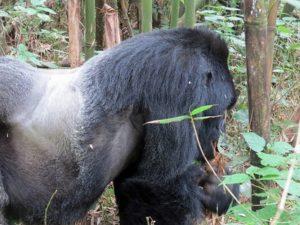 Rwanda Gorilla Groups