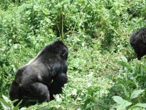 Rwanda Gorilla Permit, Cheap Gorilla Tours in Rwanda