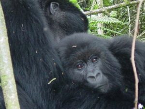 Rwanda Safari Companies Taking you To See The Gorillas of Rwanda